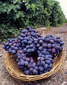 Spring Mountain Vineyard Grape Varieties
